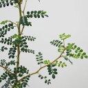 観葉植物 ソフォラ リトルベイビー 2.5〜3号ポット 常緑低木