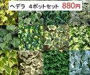 【4ポットセット】観葉植物 苗イングリッシュアイビー ヘデラ3号ポット耐寒性 宿根草 多年草 グランドカバー