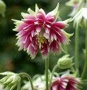 花苗 アクイレギア(西洋オダマキ) ノラバロー 3,5号ポット 花色 覆色咲き 耐寒性宿根草 イングリッシュガーデン