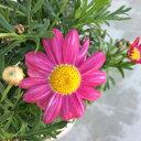 鉢花マーガレットバブルガムブラスト4号ポット花苗 寄せ植え ガーデニング 可愛い 花壇PW(PROVEN WINNERS)