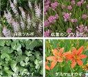 【山野草】 白花ツルボ・広葉のシマツルボ・フタバアオイ・ダルマヒオウギ 3号ポット苗