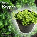 観葉植物 セラギネラ(セラジネラ) クッションモス ライム グリーン 3号ポット インドアグリーン インテリアプランツ イワヒバ セレギネラ 苔