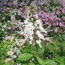 ネコノヒゲ キャッツウィスカー オルソシフォン 4号ポット苗ホワイトガーデン 夏の花
