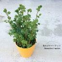 観葉植物 セラギネラ(セラジネラ) クッションモスレインボーファン(コンテリクラマゴケ)3号ポットインドアグリーン インテリアプランツ イワヒバ セレギネラ 苔