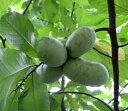 果樹苗ポポー実生品種5号ポット接木苗