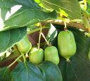 果樹苗 大実サルナシ(オオミサルナシ) 4.5号ポット 小さな実がついています! (キウイ さるなし)
