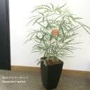 観葉植物グリーンアラレア(ディジゴテカ)7号ポットガーデニング 花苗寄せ植え インテリアグリーン ハロウィン