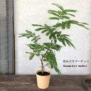 RoomClip商品情報 - 観葉植物 ネムノキ 合歓の木 エバーフレッシュ 4号ポット 非耐寒性 常緑 小低木
