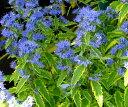カリオプテリス サマーソルベット 2.5〜3号ポット苗カラーリーフ 宿根草