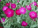 【INS】リクニスコロナリアアトロサンギネア(ローズ)3〜3,5号ポット宿根草【イングリッシュガーデン】rv