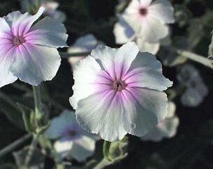 リクニスコロナリアオキュラータ イングリッシュ ガーデン おすすめ ガーデニング