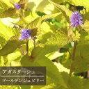 アガスターシェ ゴールデンジュビリー3〜3.5号ポット苗 アガスターチェ アニスヒソップ