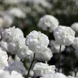 ●stアキレアノブレッサ3号ポット苗宿根草【イングリッシュガーデン】