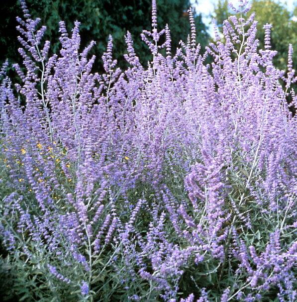 花の苗物ロシアンセージ(ペロブスキア)ブルースパイヤー3〜35号ポット苗花色パープルピンクガーデニン