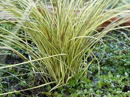 花苗 カレックス ジェネキー 3号ポット 耐寒性 常緑 多年草 宿根草 カラーリーフ グラス イングリッシュガーデン