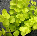 リシマキアヌンムラリアオーレア イングリッシュ ガーデン おすすめ グランド ガーデニング