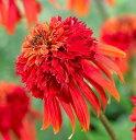 花苗 エキナセア 八重咲き ホットパパイヤ 3号ポット苗 宿根草 イングリッシュガーデン 切り花 耐暑性 耐寒性