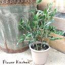 【送料無料】(観葉)『オリーブ5号鉢 品種指定:ミッション 』『 セラート鉢でお届けします 』オリーブ 観葉植物 オリーブの木 苗木 鉢植 販売 誕生日 引越 祝 オリーブの実 FKTK