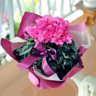 仙客來 5 碗禮物禮品花卉盆栽花卉盆栽仙客來鋼琴羅莎型粉色花白色生日新年花卉禮品。
