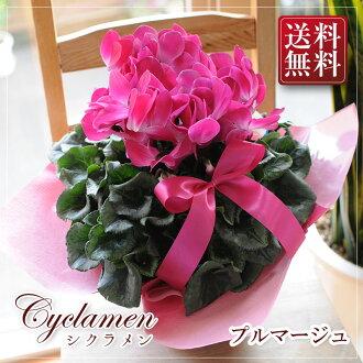 仙客來號 5 / 號 6 碗禮物禮品花卉盆栽花卉盆栽仙客來羽毛類型粉紅色白色生日新年禮物花丘比特成員花花店。