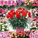 母の日 2019 ギフト 鉢花 産地直送 カーネーション スタンダード17色 5号鉢 プレゼン