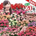 母の日 花 ギフト プレゼント 鉢花 産地直送 カーネーション 5号鉢 鉢植え 送料無料 花 贈る ギフト スタンダード20色 2020