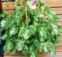 花色はお任せになります。朝顔の寄せ植えです。夏の風物詩朝顔市よりお安くご提供。朝顔の寄せ植え★カラフルアサガオ【楽ギフ_メッセ入力】