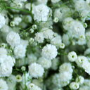 カスミ草(かすみ草) 百合の花束他への追加用 これ単体での発送はできません【フラワーギフトエーデルワイス花の贈…