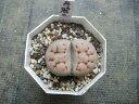 【ユニークな形・リトープス・ちょっと大きな寿麗玉】2号・1頭・玉型メセン・多肉植物