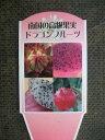 【ドラゴンフルーツ】5号・多肉植物・果樹苗・ヘルシーフルーツ・サボテン