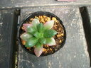 【ミニ多肉植物】【アナカンプセロス・桜吹雪】2号ポット苗・『吹雪の松』の斑入り・スベリヒユ科
