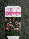 【エロディウム・マネースカビ】3.5号苗×2ポットセット・耐寒性多年草