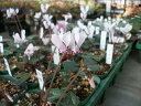 【希少!】【原種シクラメン・シプリアム(シプリウム)(C.cyprium)】球根植物・山野草・
