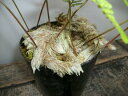 【トキワシノブ・石化(猫の手)】3号ポット・素朴な山野草・古典植物・草もの盆栽・シダ類