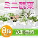 ミニ観葉植物福袋8鉢セット幸福の木・モンステラ・オーガスタ【...