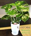 観葉植物 モンステラ6号選べる鉢 高さ約60cm【開店祝い 新築祝い 誕生日プレゼント 引越し祝い