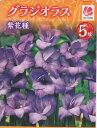 グラジオラス 5球入紫花種花の大和【春植球根】