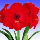 ポットアマリリスレッドライオン一重咲き:赤 1球