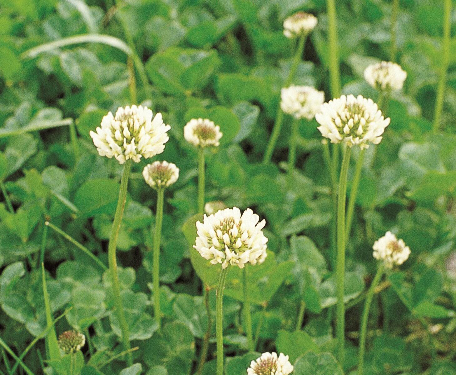 福花園種苗 ホワイトクローバー 景観用種子
