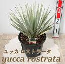 ユッカ ロストラータ7号鉢