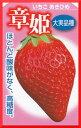 章姫(あきひめ)【3ポットセット】イチゴ苗 3号ポット
