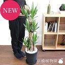 ユッカ(青年の木) 8号【黒セラアート鉢】【植物 インテリア...