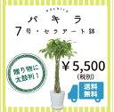 【大好きな人にオシャレなプチギフト】 【インテリアグリーンの定番!】