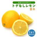 予約商品 送料無料 レモン苗木 トゲなしレモン ビアフランカ 15cmポット 接木 柑橘 苗木 9月中下旬より順次発送