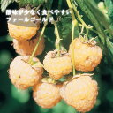 予約商品 ラズベリー ファールゴールド 12cmポット 9月中下旬より順次発送 予約注文でポイント2倍
