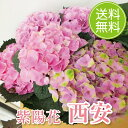 アジサイ 送料無料 西安 5号鉢 ピンク 鉢植え 鉢植 花鉢 あじさい 紫陽花 父の日