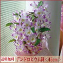 デンドロビューム<ギフト向き><ピンク系・45cm>【あす楽対応】【送料無料】【ラン花鉢 鉢植え】【