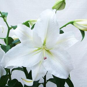 花カサブランカ