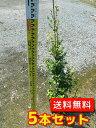 トキワマンサク(青葉白花) 【5本セット】 樹高1.2m前後 18cmポット 【送料無料】 常盤満作:生垣用 /