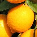 レモン・マイヤー 【 単 品 】 樹高0.6m前後 15cmポット / マイヤーレモン れもん・まいやー
